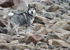 Lobo en piedras Foto de archivo libre de regalías