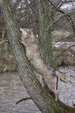 Lobo en un árbol Foto de archivo