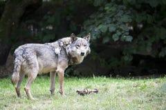 Lobo en un claro foto de archivo libre de regalías