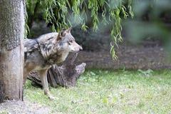 Lobo en un claro foto de archivo