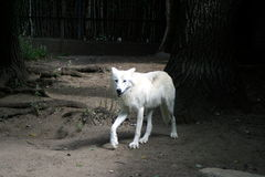Lobo en un parque zoológico que camina solamente foto de archivo