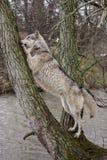 Lobo en un árbol Fotos de archivo