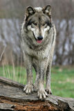 Lobo en un registro Imagen de archivo libre de regalías