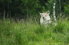 Lobo en una hierba Fotografía de archivo