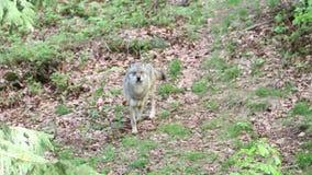 Lobo en una reserva de naturaleza en Baviera Alemania almacen de metraje de vídeo