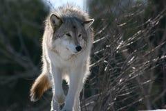 Lobo en winter2 Imagen de archivo libre de regalías