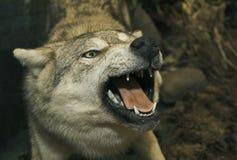 Lobo enchido Imagens de Stock