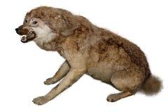 Lobo enchido em um fundo branco Imagem de Stock Royalty Free
