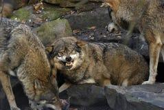 Lobo enojado Fotografía de archivo