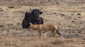 Lobo etíope delante del ganado fotografía de archivo