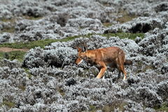 Lobo etíope en las montañas de la bala de Etiopía en África foto de archivo