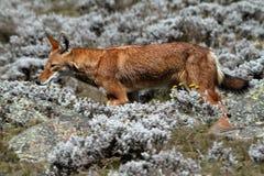 Lobo etíope en las montañas de la bala de Etiopía en África imagenes de archivo