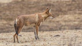 Lobo etíope en Prairei fotos de archivo