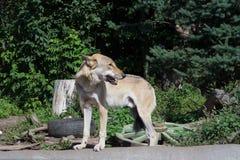 Lobo eurasiático en el parque zoológico Foto de archivo
