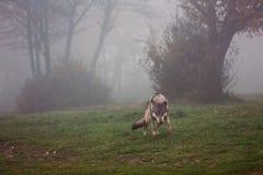 Lobo europeo Imágenes de archivo libres de regalías