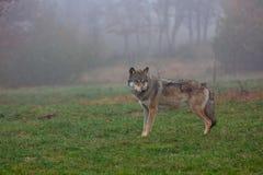 Lobo europeo Fotografía de archivo libre de regalías