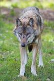 Lobo europeo Foto de archivo libre de regalías