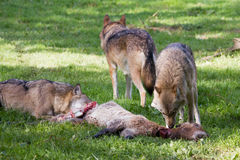 Lobo europeo Foto de archivo