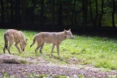 Lobo europeo Imagen de archivo libre de regalías