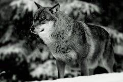 Lobo europeo en invierno Fotos de archivo