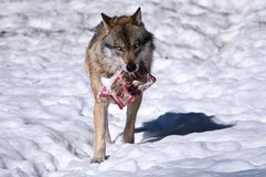 Lobo europeo (lupus de Canis) Fotos de archivo libres de regalías