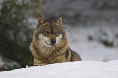 Lobo europeo (lupus de Canis) Fotos de archivo