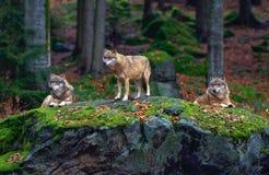 Lobo europeu (lúpus de Canis) fotografia de stock