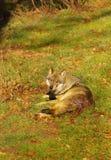 Lobo excluido por su paquete Fotos de archivo libres de regalías
