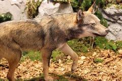 Lobo feroz y voraz que busca la presa en el medio de t Imágenes de archivo libres de regalías