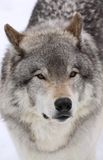 Lobo grande Imagens de Stock Royalty Free