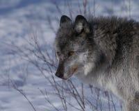 Lobo gris Fotografía de archivo libre de regalías