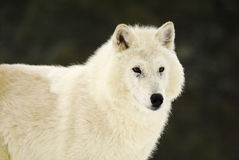 Lobo gris Fotografía de archivo