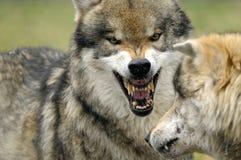 Lobo gris Fotos de archivo libres de regalías