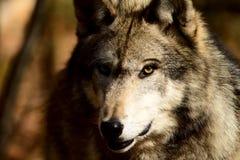 Lobo gris Imágenes de archivo libres de regalías