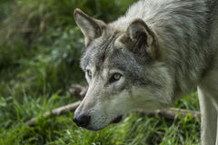 Lobo gris Fotos de archivo