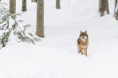 Lobo gris del retrato en la nieve imagen de archivo