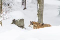 Lobo gris del retrato en la nieve fotografía de archivo libre de regalías