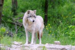 Lobo gris en habitat Imagen de archivo