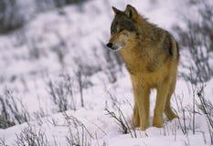 Lobo gris en invierno Imagen de archivo libre de regalías