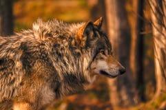 Lobo gris en otoño en Quebec, Canadá Fotos de archivo libres de regalías