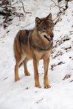 Lobo gris en un invierno Imagen de archivo libre de regalías