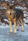 Lobo gris en un invierno Fotografía de archivo libre de regalías