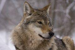 Lobo gris europeo (lupus del lupus de Canis) Imágenes de archivo libres de regalías