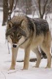 Lobo gris europeo (lupus del lupus de Canis) Imagen de archivo libre de regalías