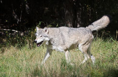 Lobo gris feliz Imagenes de archivo