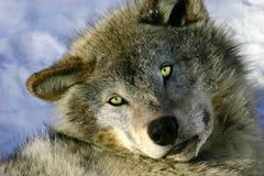 Lobo gris joven de reclinación foto de archivo