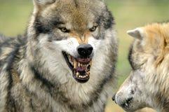Lobo gris (lupus de Canis) Foto de archivo libre de regalías