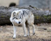 Lobo gris mexicano Imágenes de archivo libres de regalías