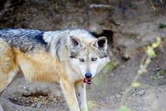 Lobo gris mexicano Foto de archivo libre de regalías