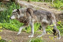 Lobo gris mientras que le mira Foto de archivo